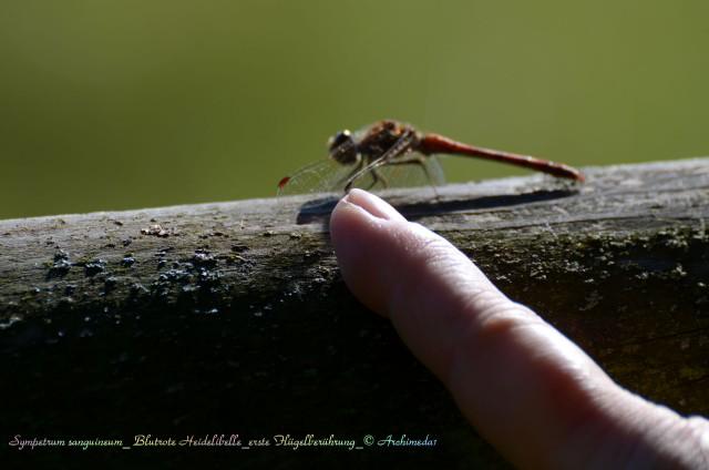 Sympetrum sanguineum_ Blutrote Heidelibelle_erste Flügelberührung_© Archimeda1