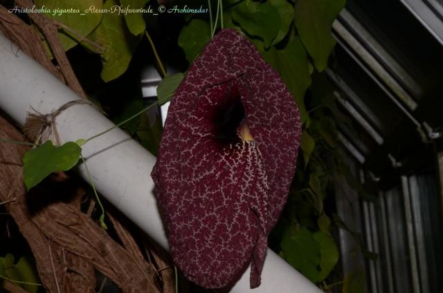 Aristolochia gigantea_Riesen-Pfeifenwinde_2_© Archimeda1