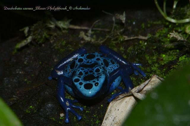 Dendrobates azureus_Blauer Pfeilgiftfrosch_© Archimeda1