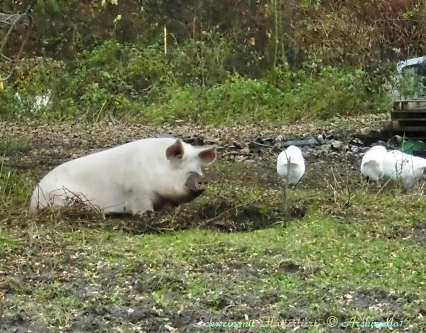 Schwein mit Flattertiere_© Archimeda1
