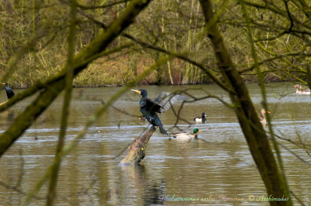 Phalacrocorax carbo_Komoran_© Archimeda1