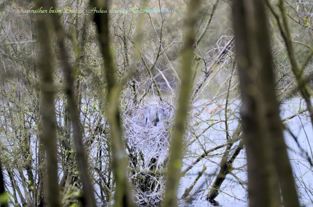 Fischreiher beim Brüten_Ardea cinerea_© Archimeda1