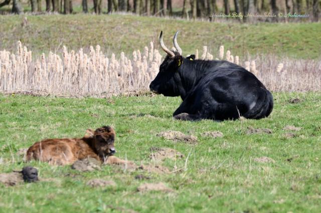Heckrind-Baby HerdenSchutz © Archimeda1
