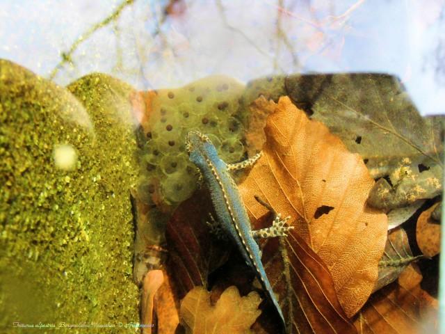 Triturus alpestris_Bergmolch-Männchen © Archimeda1