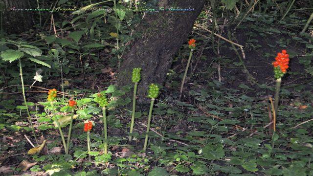 Arum maculatum_Aronstab_Buntfärbung von grün zu orange_© Archimeda1