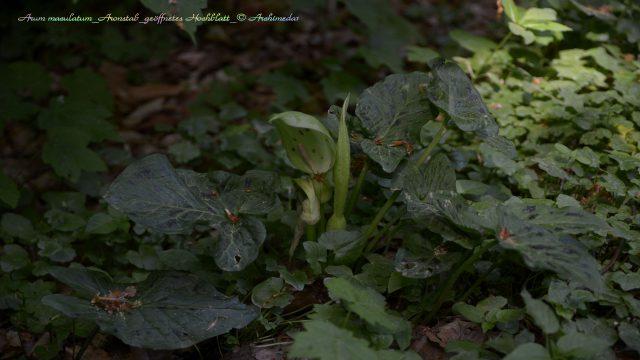 Arum maculatum_Aronstab_geöffnetes Hochblatt_© Archimeda1