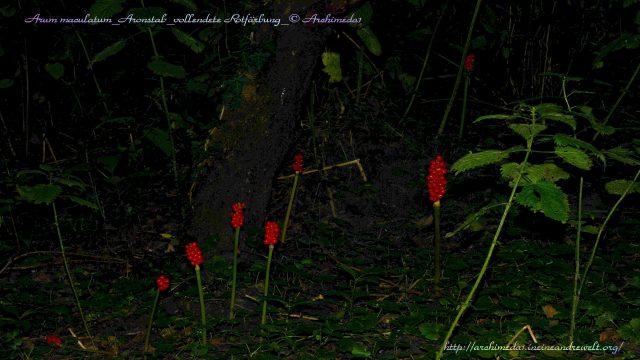 Arum maculatum_Aronstab_vollendete Rotfärbung_© Archimeda1