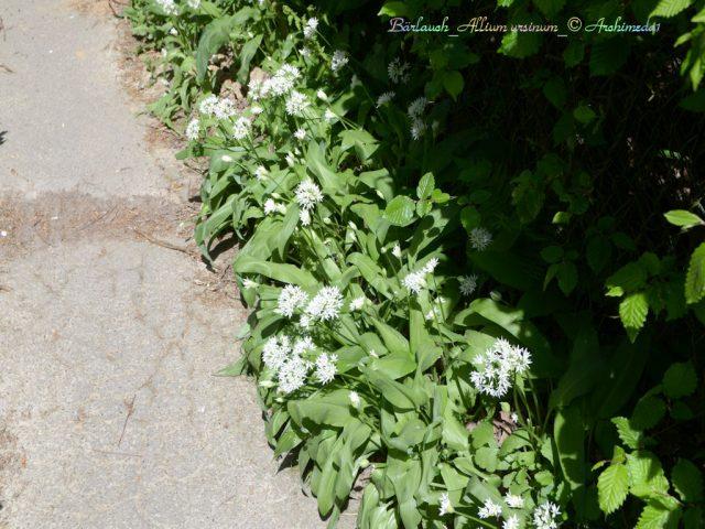 Bärlauch_Allium ursinum_© Archimeda1
