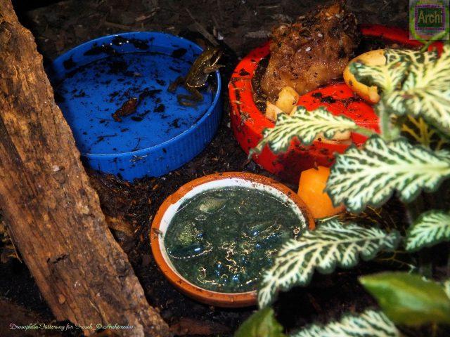 Drosophila-Fütterung für Frosch_© Archimeda1