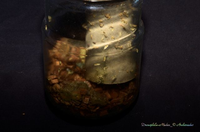 Drosophila-Maden_© Archimeda1