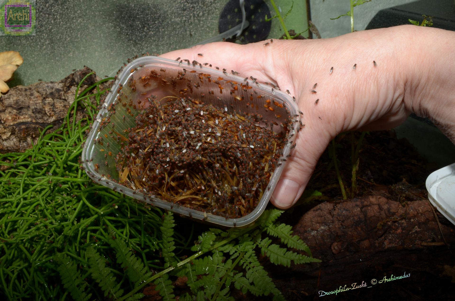 Fruchtfliege drospophila hydei zucht ineineandrewelt for Fruchtfliegen pflanzen