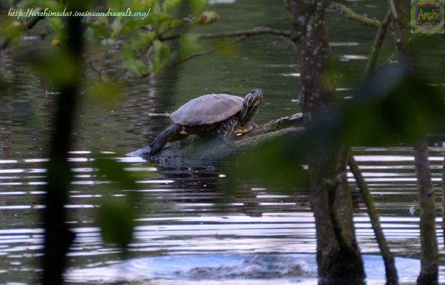 Wasserschildkröte © Archimeda1