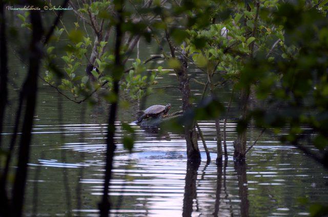 Wasserschildkröte_Pseudemys_© Archimeda1