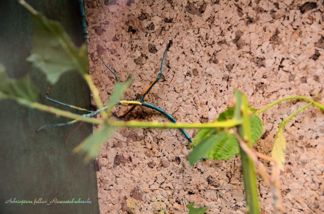 Achrioptera fallax_Riesenstabschrecke_2 © Archimeda1