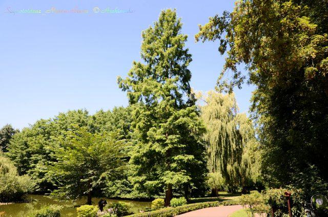 Sequoioideae_Mammutbaum_© Archimeda1