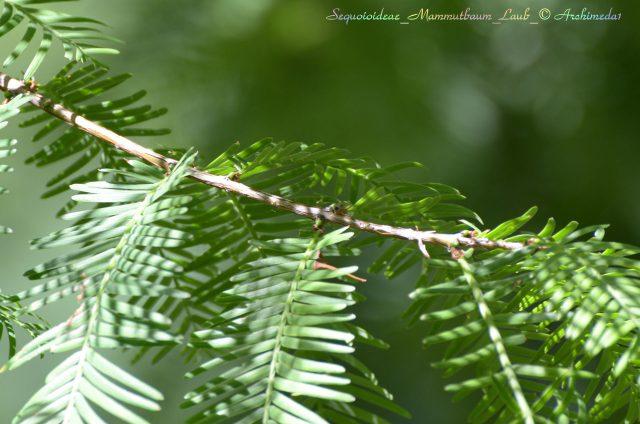 Sequoioideae_Mammutbaum_Laub_© Archimeda1