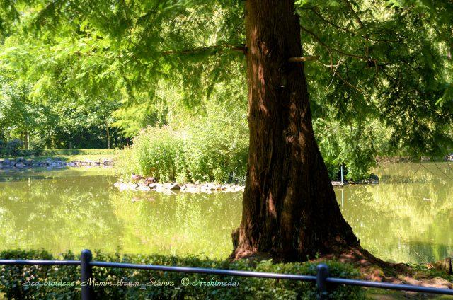 Sequoioideae_Mammutbaum_Stamm_© Archimeda1