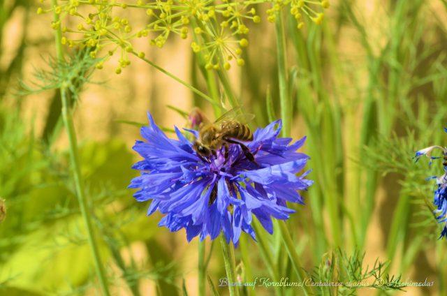 biene-auf-kornblume_centaurea-cyanus_-archimeda1