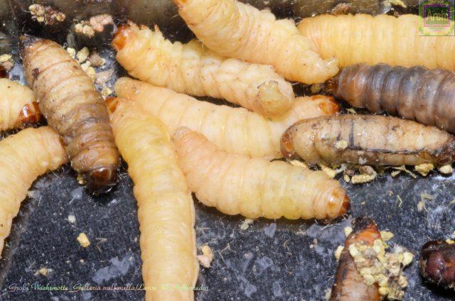 grosse-wachsmotte_galleria-mellonella_larve_-archimeda1
