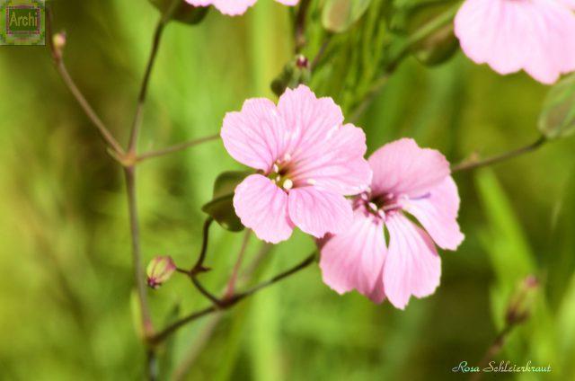 rosa-schleierkraut_