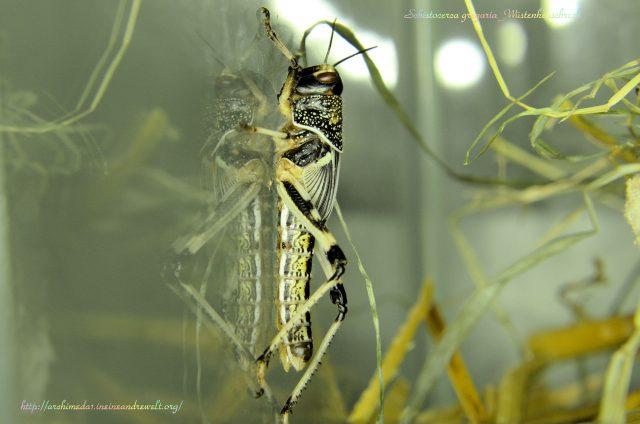 schistocerca-gregaria_archimeda1