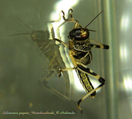 schistocerca-gregaria_wuestenheuschrecke_-archimeda1