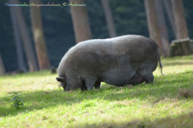 vietnamesisches-haengebauchschwein_2_-archimeda1